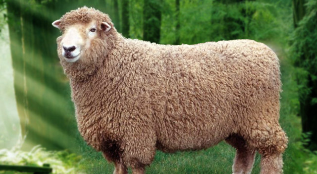 Sheep Brown Color Picture