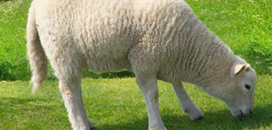 Sheep Eat Grass View