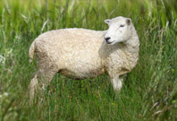 Sheep Picture In Grass Area