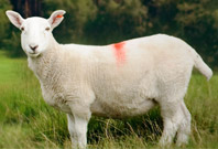 Sheep White Color Picture