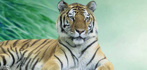 Siberian Tiger Are Gazing