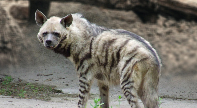 Facts About Hyenas - Striped Hyena