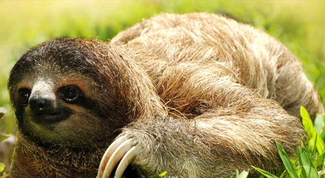Three Toed Sloth Picture