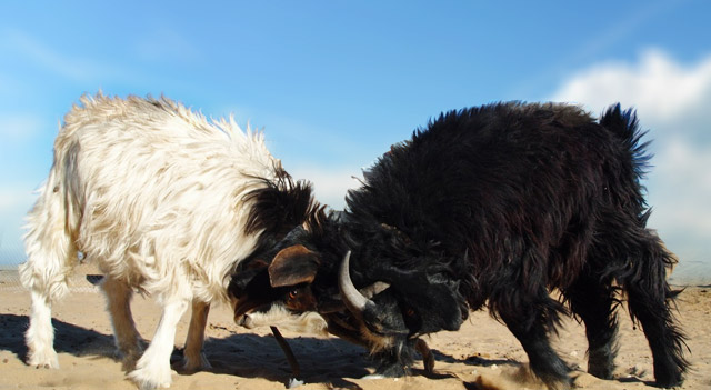Types of Goats - Turkmen Wild Goat