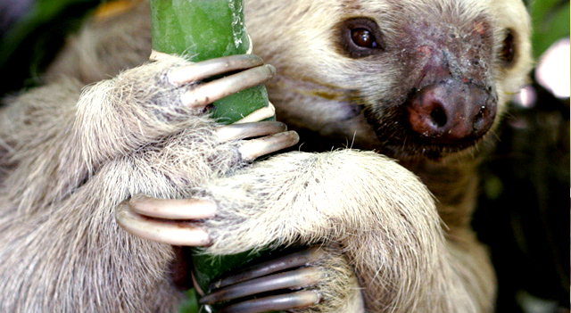 Two Toed Sloth Picture