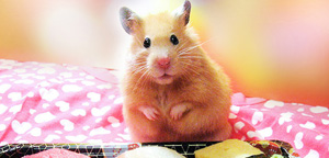 What Can Hamster Eat Are Gazzing