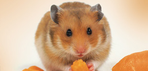 What Can Hamster Eating View Picture