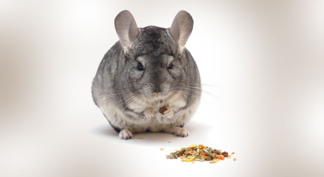What Do Chinchilla Eat Pictures