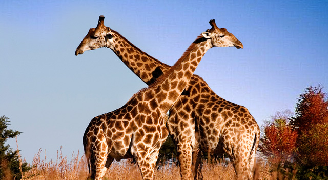 African Giraffe Picture