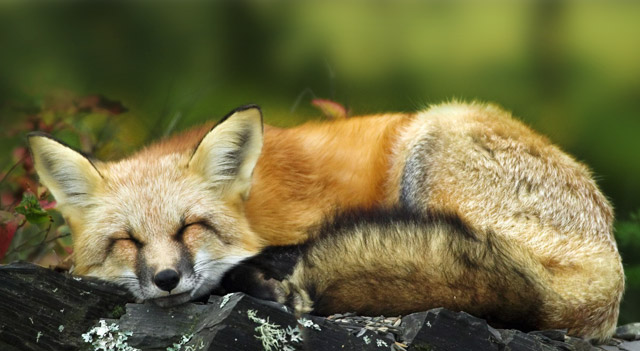 Where Do Red Fox Live