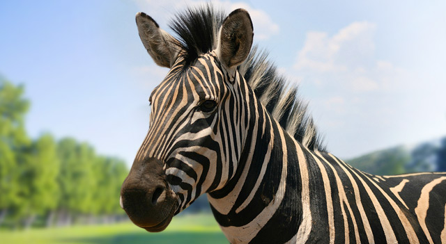 African Zebra Mouth View