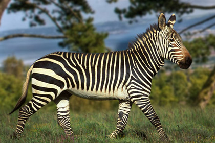 Pictures Zebras do Zebra Running Picture