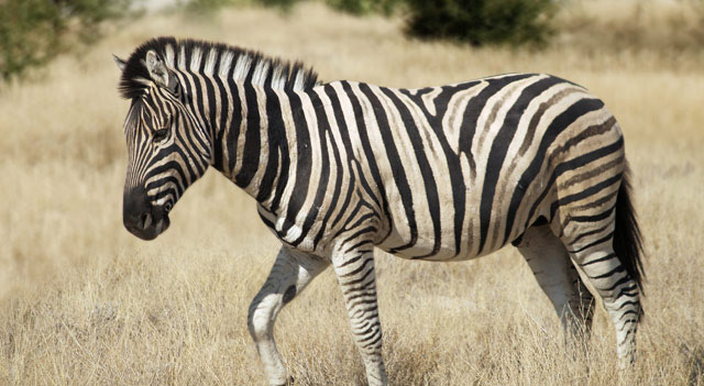 African Zebra Picture