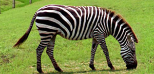 Zebra Eating Grass Picture
