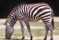 Zebra Facts Picture
