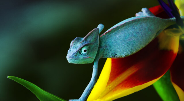 Chameleon Colorful Picture