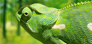 Chameleon Gazing View Picture