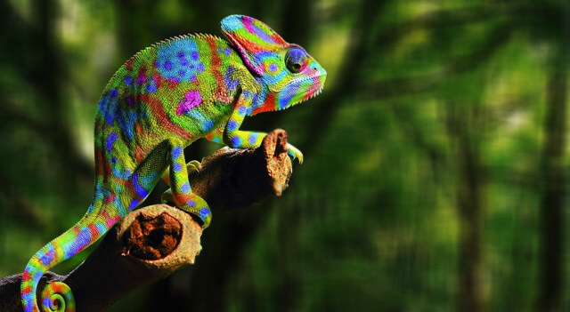 Chameleons Facts, Pictures, Habitat And Food