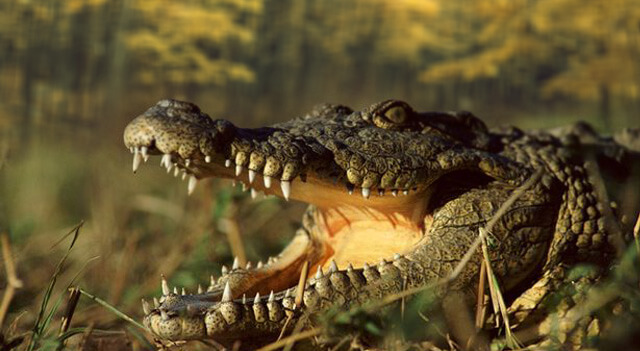 African Crocodile View
