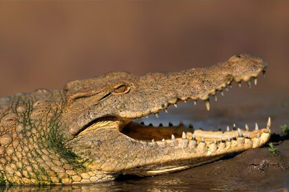 Crocodiles In Water