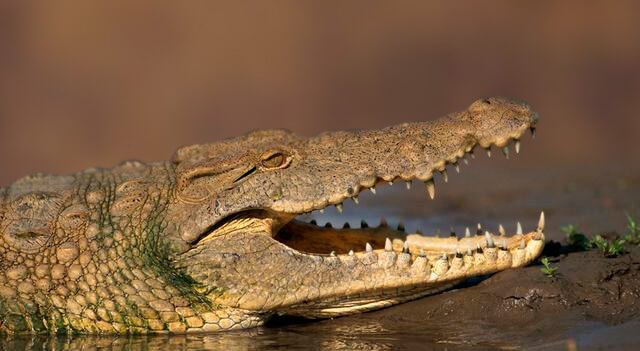 African Crocodile Picture