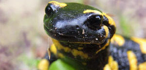 Head Of The Salamander Picture