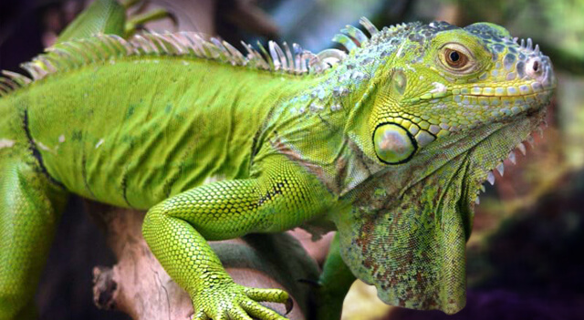 Iguana Facts And Pictures