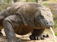 Komodo Dragon Facts And Pictures