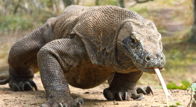 Komodo Dragon Facts about its Diet, Habitat and its Pictures