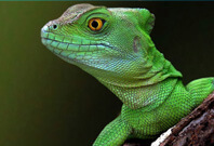 Lizard Are Gazzing