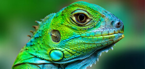 Lizard Eye View