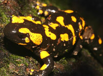 Salamanders Facts And Pictures